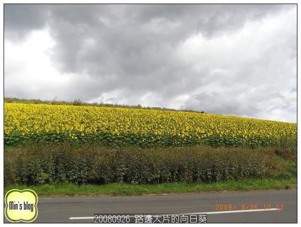 20080926  路邊大片的向日葵