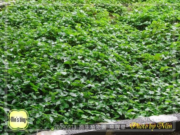 R0019155 原生植物園 魚腥草.JPG