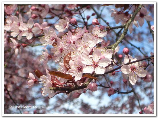 Sakura04.jpg