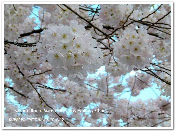 Sakura06.jpg