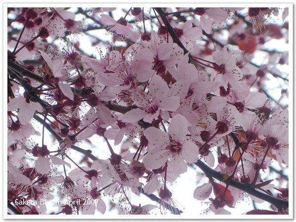 Sakura09.jpg