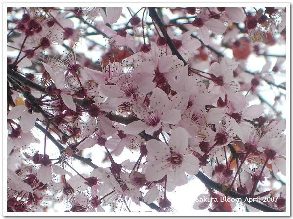 Sakura10.jpg