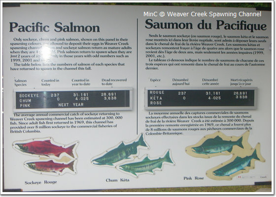 Salmon03.jpg