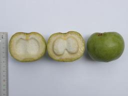 水源地白柿W4果實P6010878