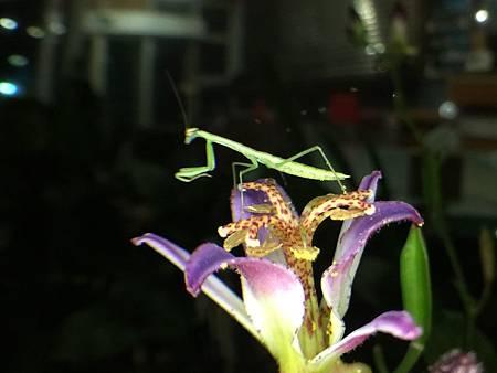 小螳螂 2