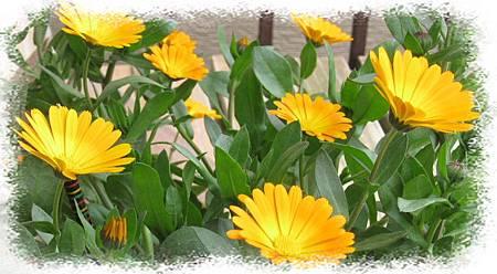 .一重金盞花