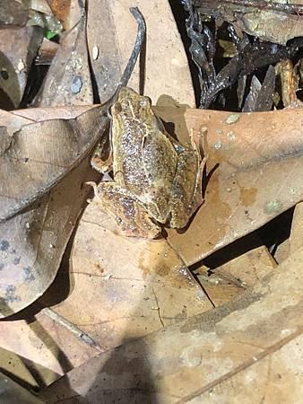 蛙2-黑蒙西氏小蛙