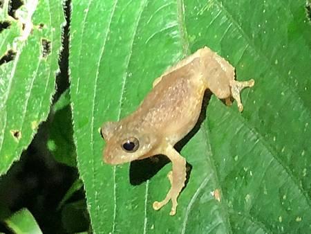 蛙1-面天樹蛙
