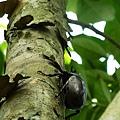 明水露樹的成長紀錄 063.jpg
