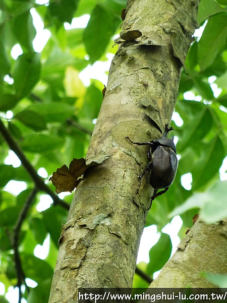 明水露樹的成長紀錄 056.jpg