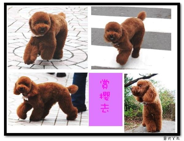 20090322丫里山賞櫻-3.jpg