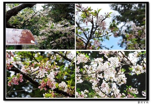 20090322丫里山賞櫻-4.jpg