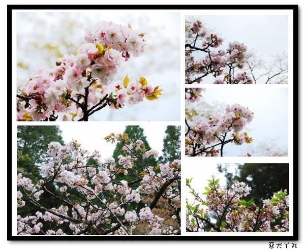 20090322丫里山賞櫻-5.jpg