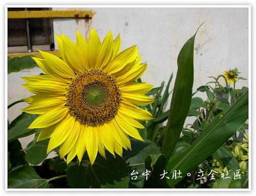 我愛的向日葵
