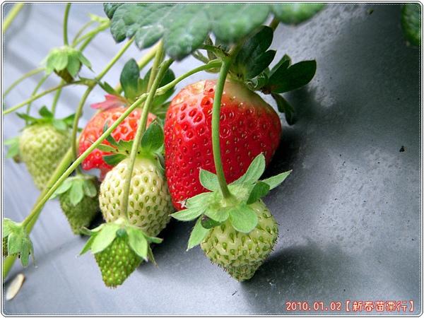 青青紅紅的草莓