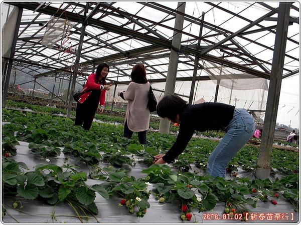 開始採草莓嚕