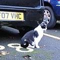 1026 遇到愛撒嬌黑白貓