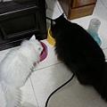 黑白貓在吃飯