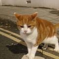 家附近的橘子貓