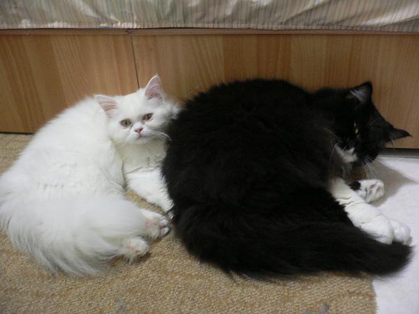 我家的貓:你是在拍三小!