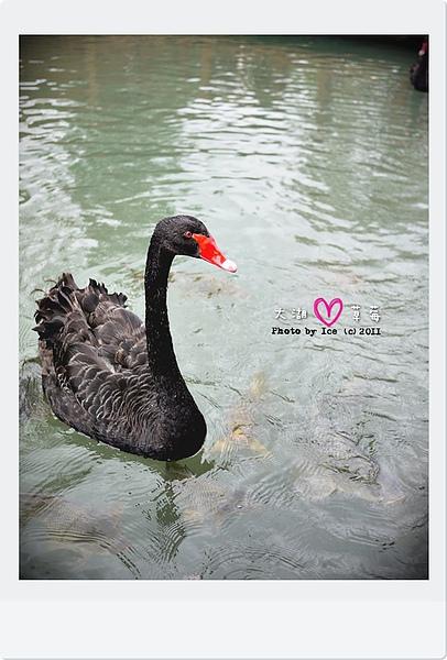 美麗的黑天鵝