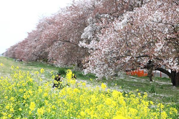 熊谷櫻花-4920.jpg