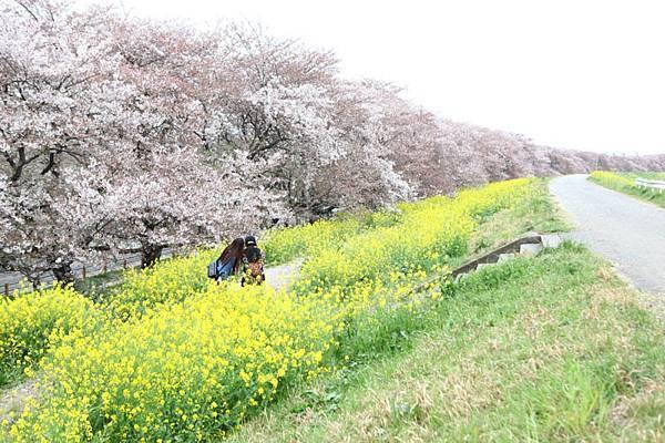 熊谷櫻花-4936.jpg