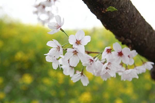 熊谷櫻花-4952.jpg