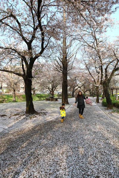 深谷櫻花-2