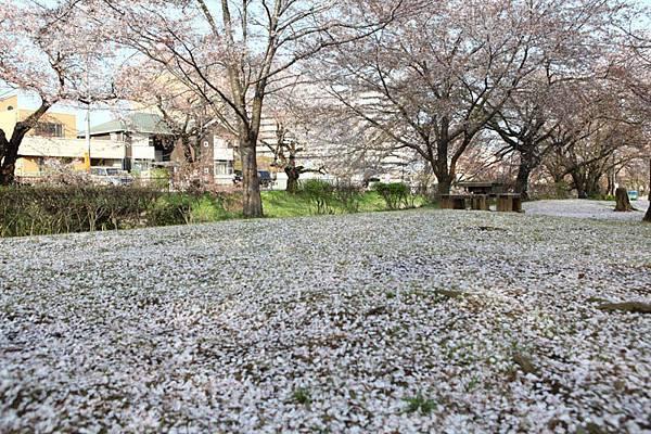 深谷櫻花-5