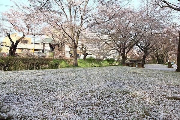 深谷櫻花-6
