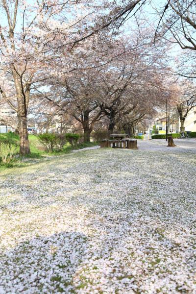 深谷櫻花-8