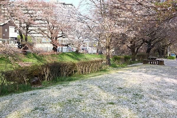 深谷櫻花-14