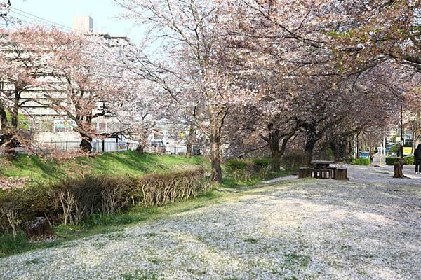 深谷櫻花-15