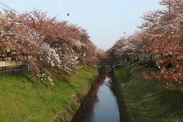 深谷櫻花-25