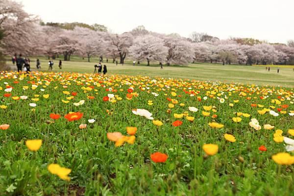 昭和公園賞櫻-47.jpg