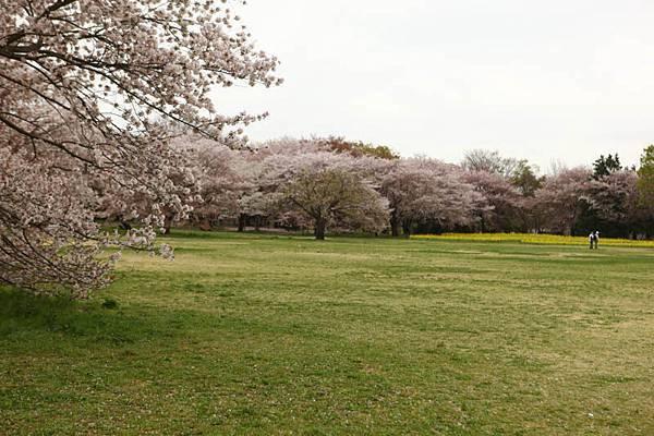 昭和公園賞櫻-78.jpg
