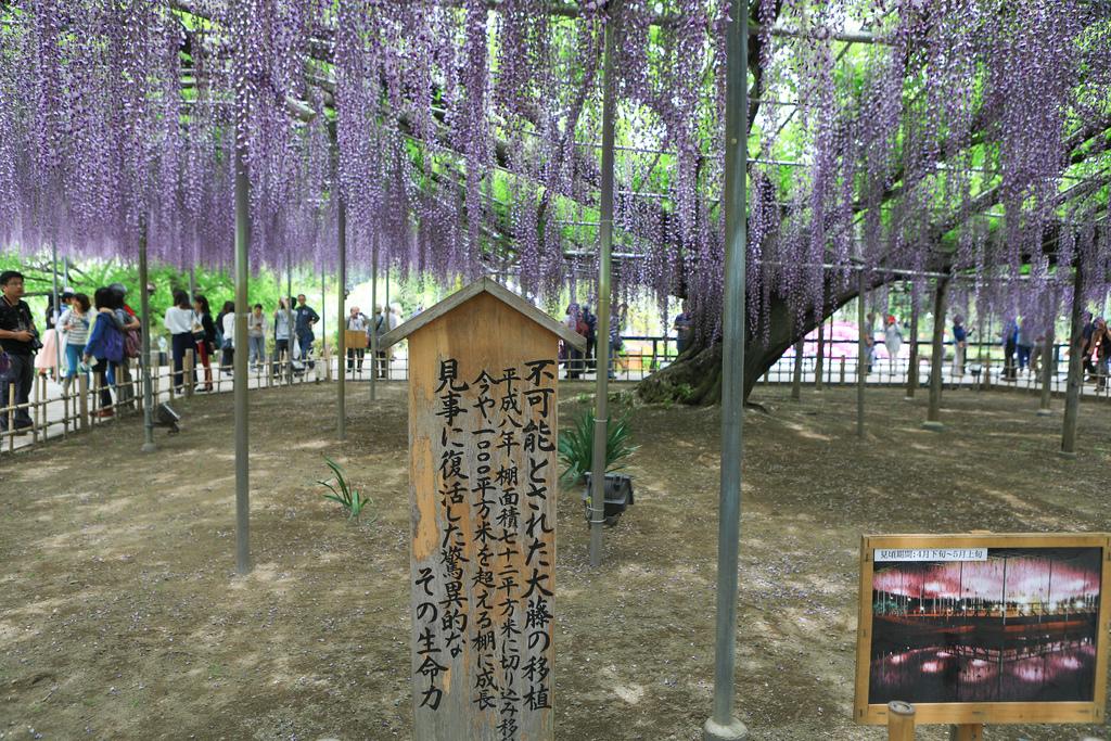 紫藤-24.jpg