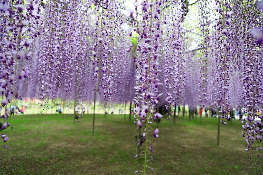 紫藤-2.jpg