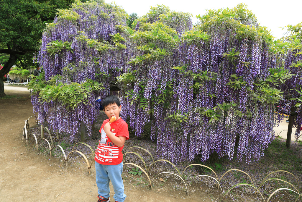 紫藤-8.jpg