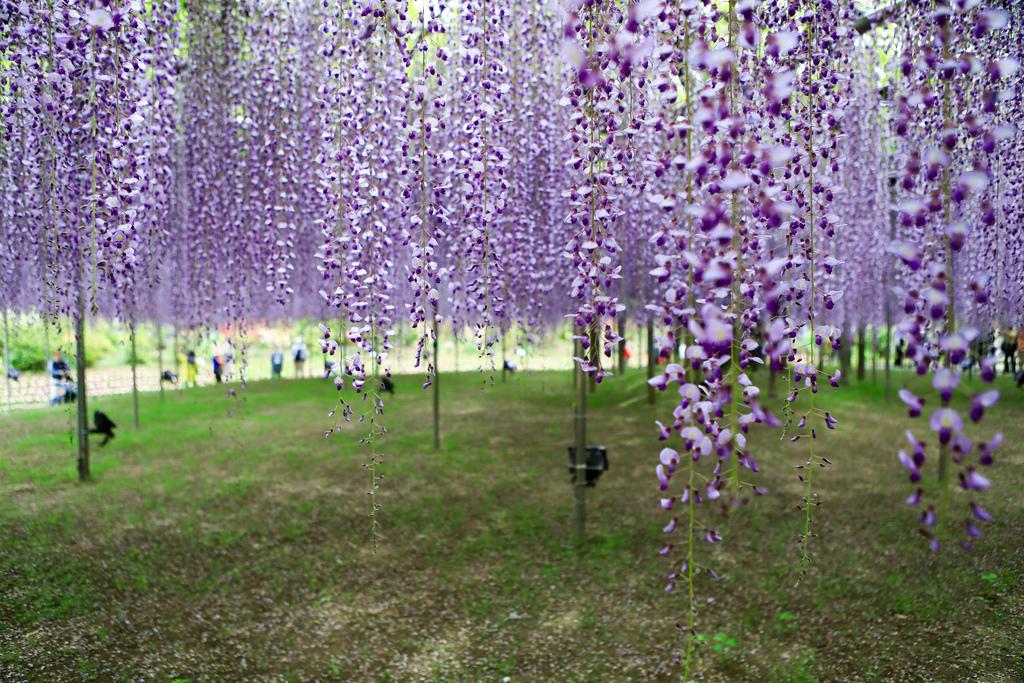 紫藤-4.jpg