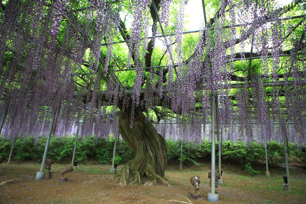紫藤-13.jpg