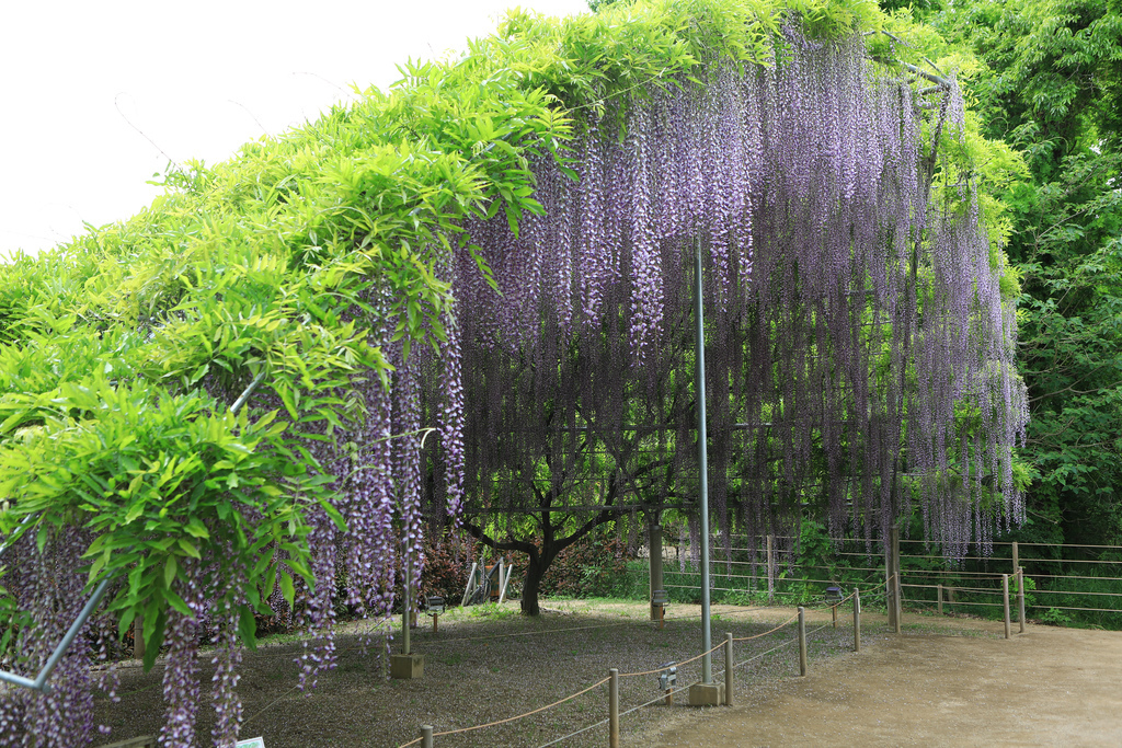 紫藤-16.jpg