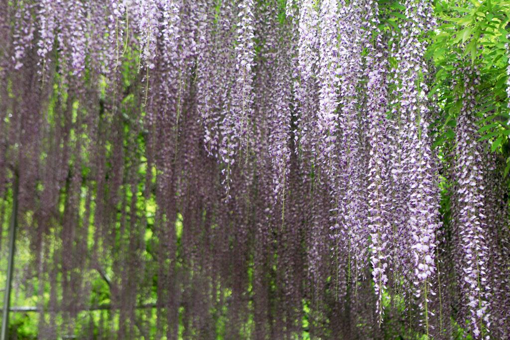 紫藤-19.jpg