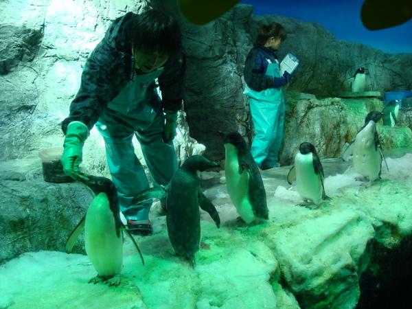 企鵝排隊吃魚