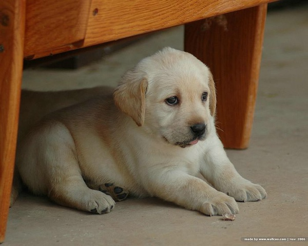 Labrador_Retriever_puppies_345995417pOEtXv_fs.jpg