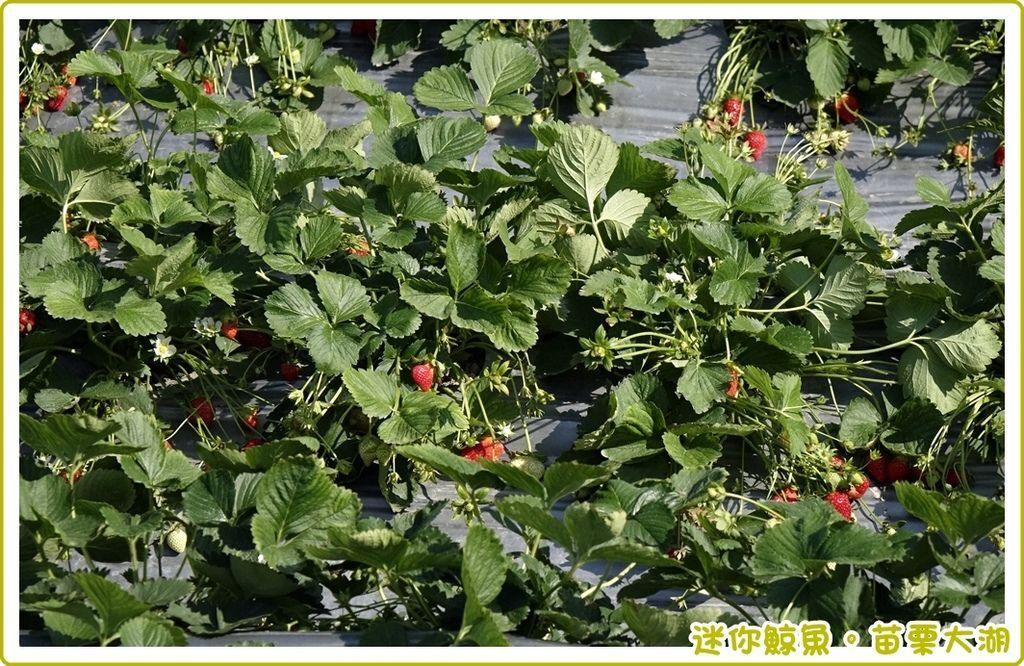草莓館35.JPG