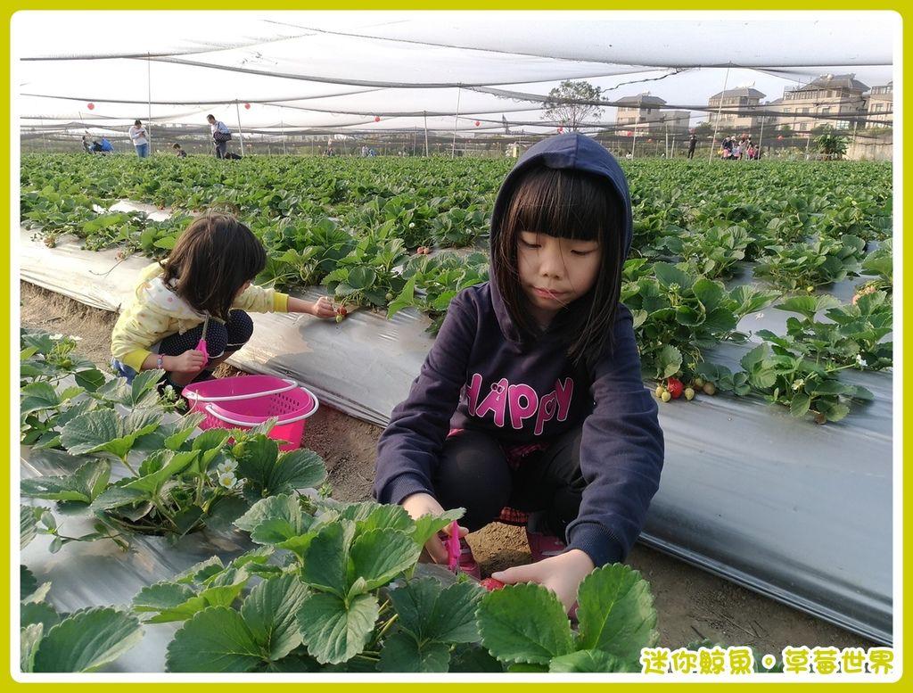 草莓14.jpg