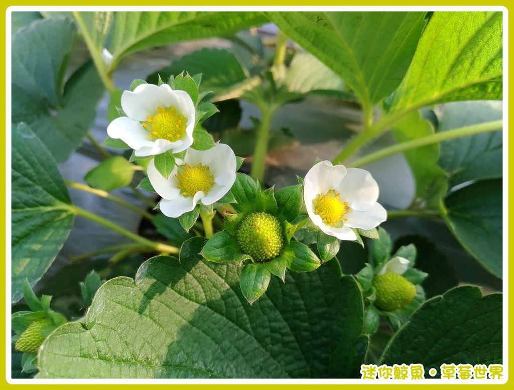 草莓16.jpg