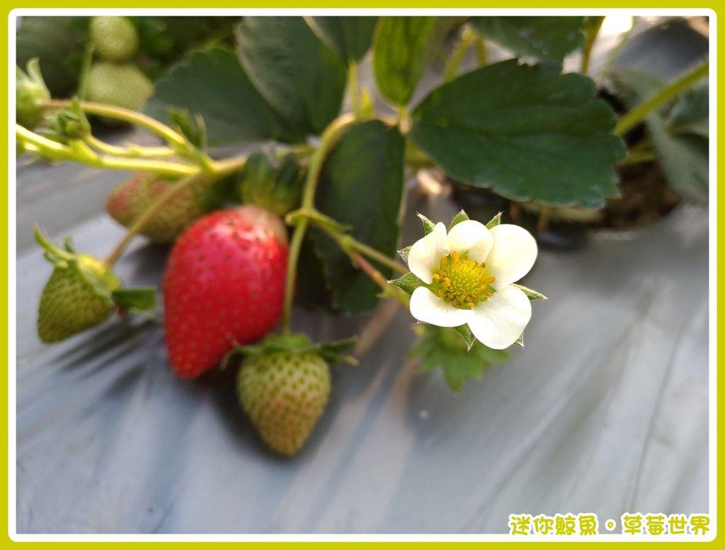 草莓15.jpg